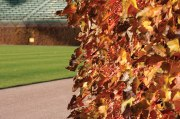 """[The ivy leaves] turn five or six different colors at the same time. Not many people see that. I hope that someday someone gets to see the end of the cycle, because they're beautiful. It would be right at the start of the World Series."" — Carl Rice, vice president of ballpark operations"